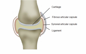 Healthy Knee Joint